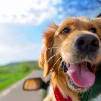 ¿Quieres viajar con tu perro? Anota estos consejos